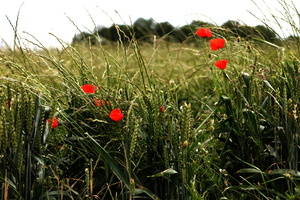 coquelicots-caches