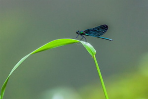 boissy-laillerie-libellule-Calopteryx-male-belle