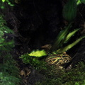 Eure - Biotropica -- Animaux - Grenouille Pacman ||<img src=./_datas/t/t/0/tt06vj1ymt/i/uploads/t/t/0/tt06vj1ymt//2014/07/05/20140705131833-00ea3d98-th.jpg>
