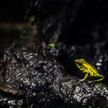 Eure - Biotropica - Animaux - Grenouille terrible||<img src=./_datas/t/t/0/tt06vj1ymt/i/uploads/t/t/0/tt06vj1ymt//2014/07/05/20140705131836-a64aa918-th.jpg>