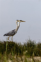 baiedesomme-marquenterre-oiseau-heron-cendre-double