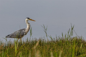 baiedesomme-marquenterre-oiseau-heron-cendre-enchasse