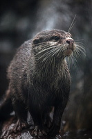 Eure - Biotropica -- Animaux - Loutre naine d'Asie